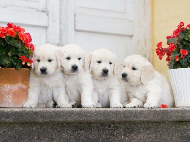 Четыре милых щенка белого померанского шпица сидят между собакой в цветочном горшке