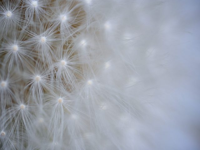 Одуванчик цветок макро
