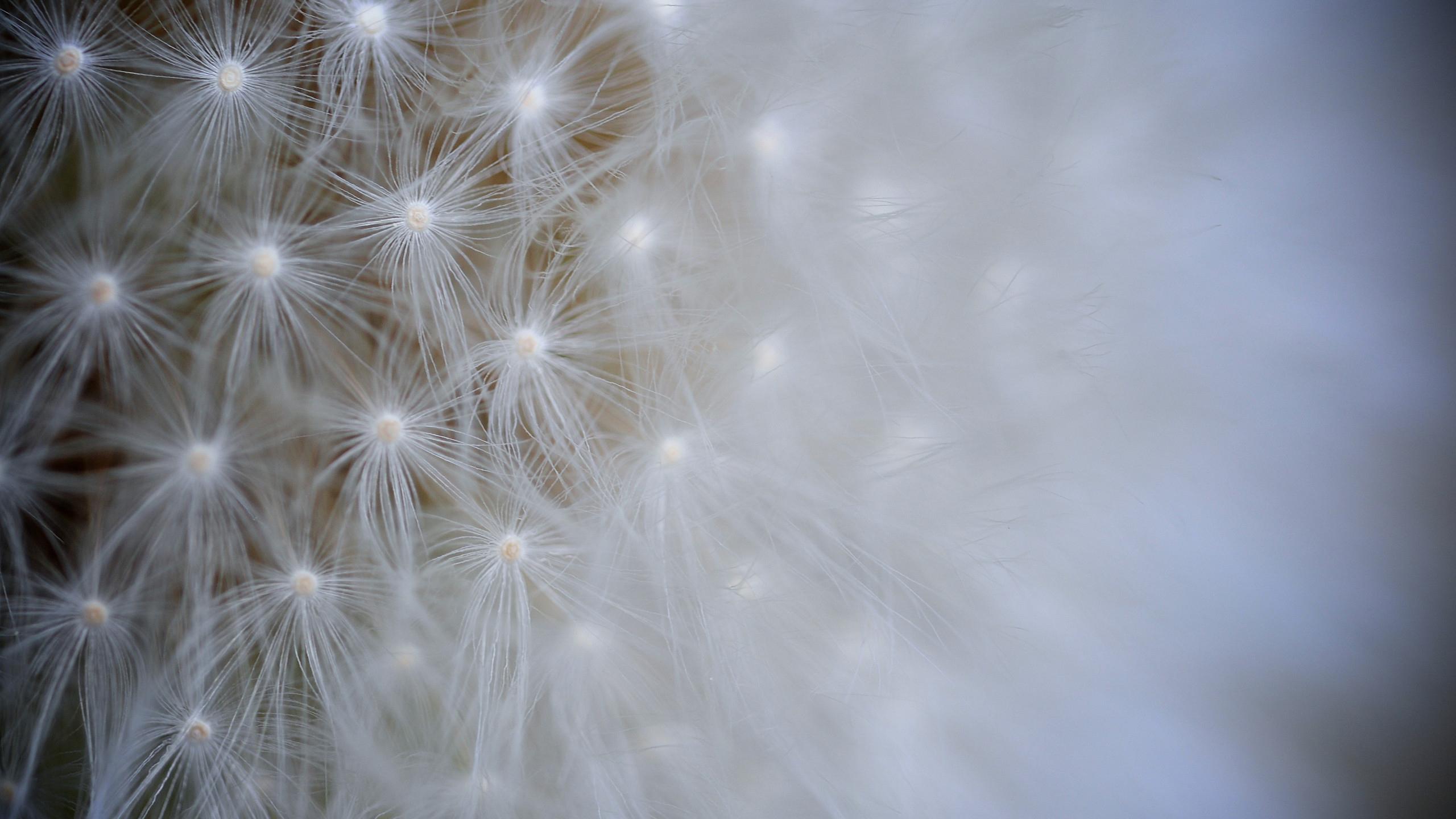 Одуванчик цветок макро обои скачать