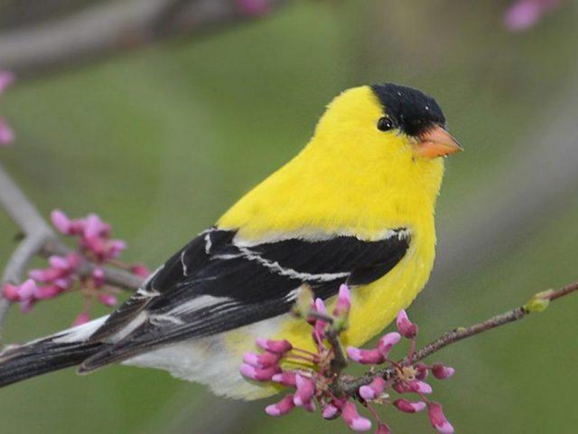 Американский щегол желто черная птица на ветке дерева птицы