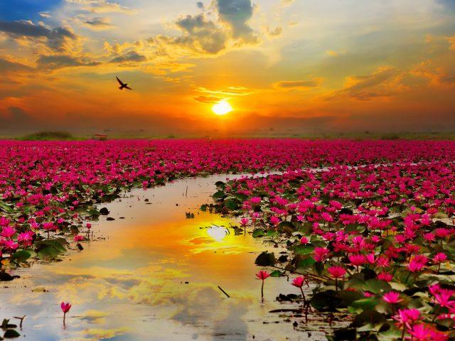 Цветы лотоса.