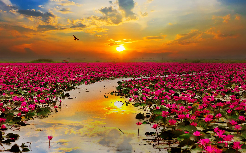 Цветы лотоса. обои скачать