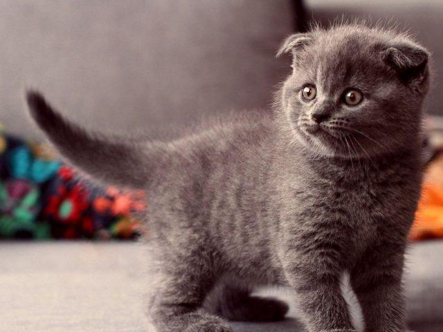 Пушистый серый котенок британской кошки с пристальным взглядом котенка