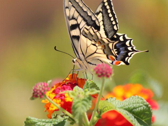 Желто-черная оформленная бабочка на оранжево-розовых цветах на сине-зеленом фоне бабочка
