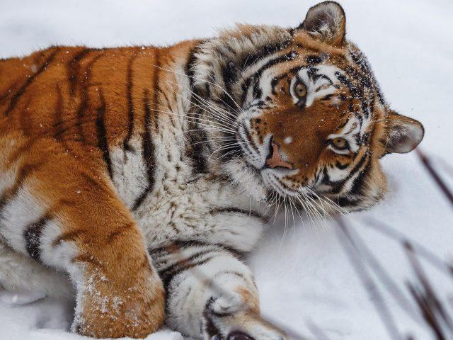 Тигр лежит на снегу тигр