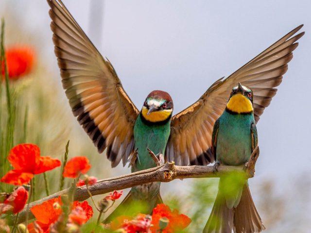 Две зелено-желтые европейские птицы-пчелоеды на деревянной палочке на фоне белого неба птицы