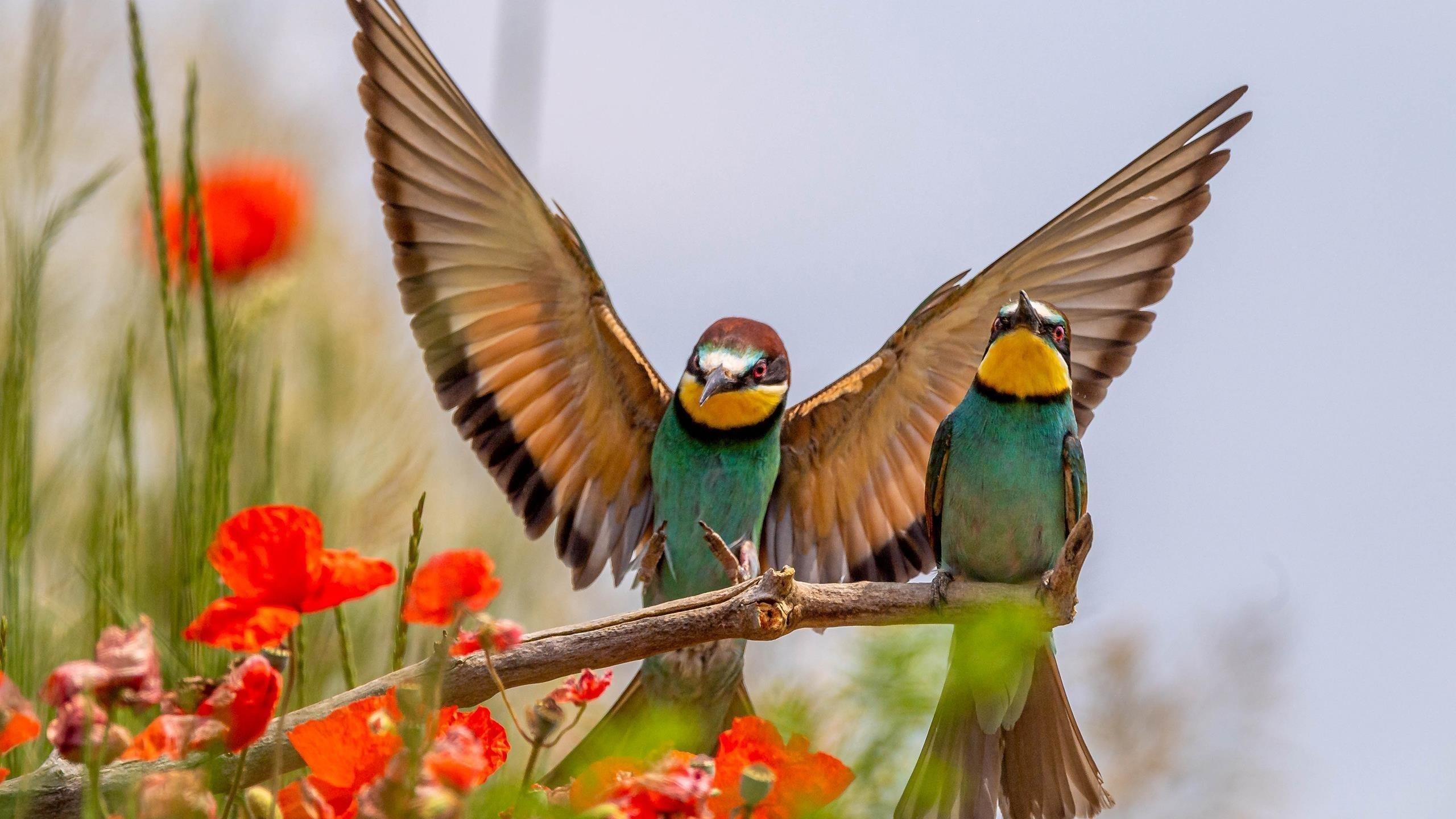 Две зелено-желтые европейские птицы-пчелоеды на деревянной палочке на фоне белого неба птицы обои скачать