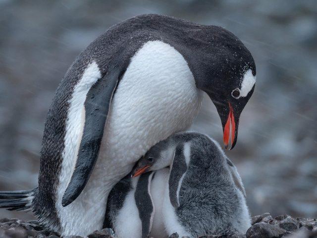 Белый черный пингвин с детенышем животных пингвинов