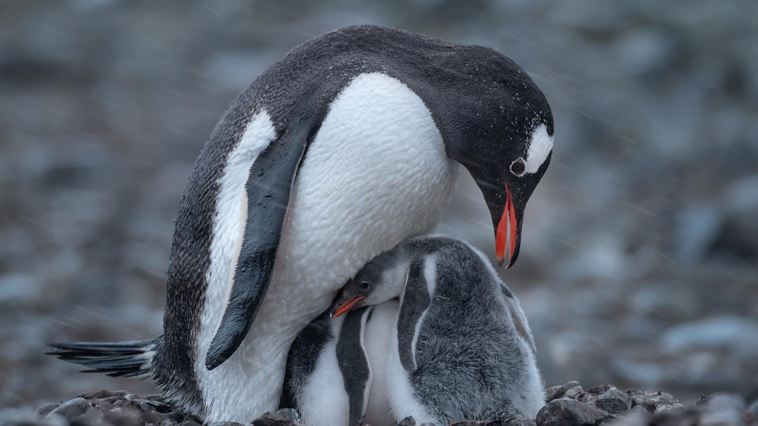Белый черный пингвин с детенышем животных пингвинов обои скачать