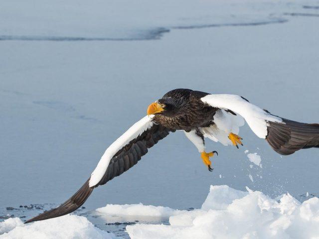 Белоголовый орлан взлетает со снежного поля зверей