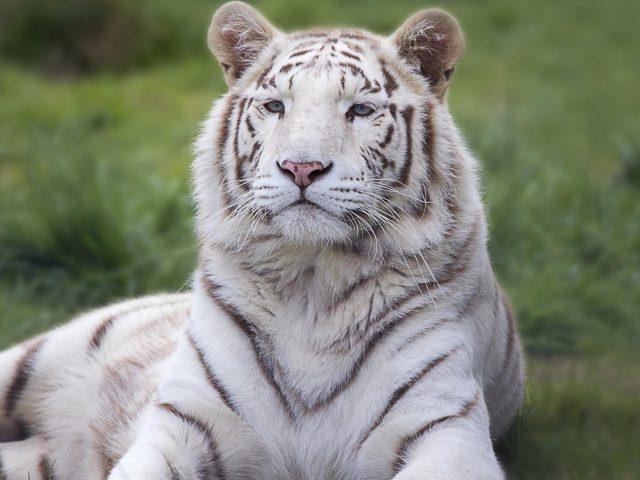Белый тигр, хищник, лежать