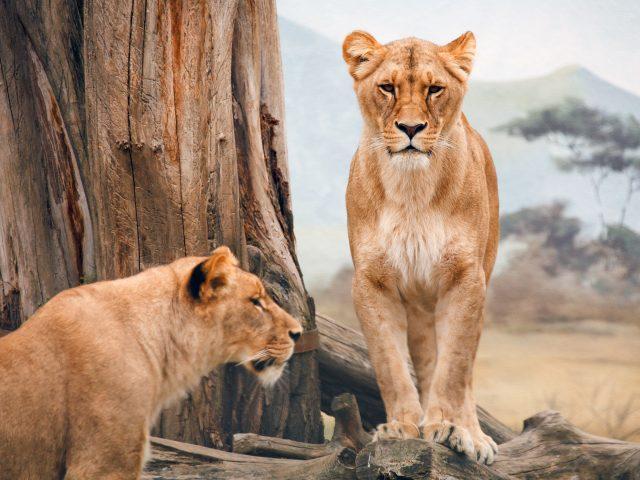 Африканская львица.