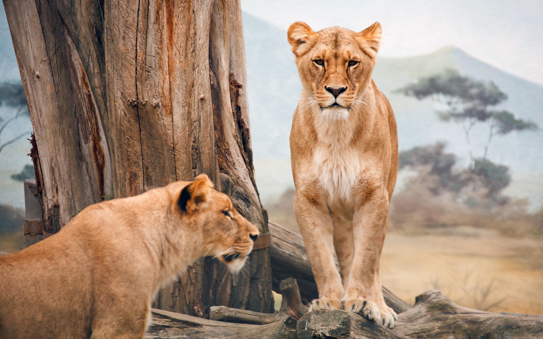 Африканская львица. обои скачать