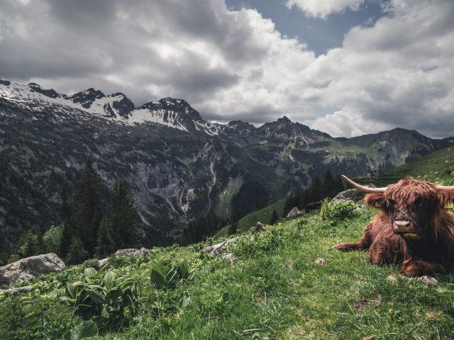 Коричневый волосатый Як горная трава облака