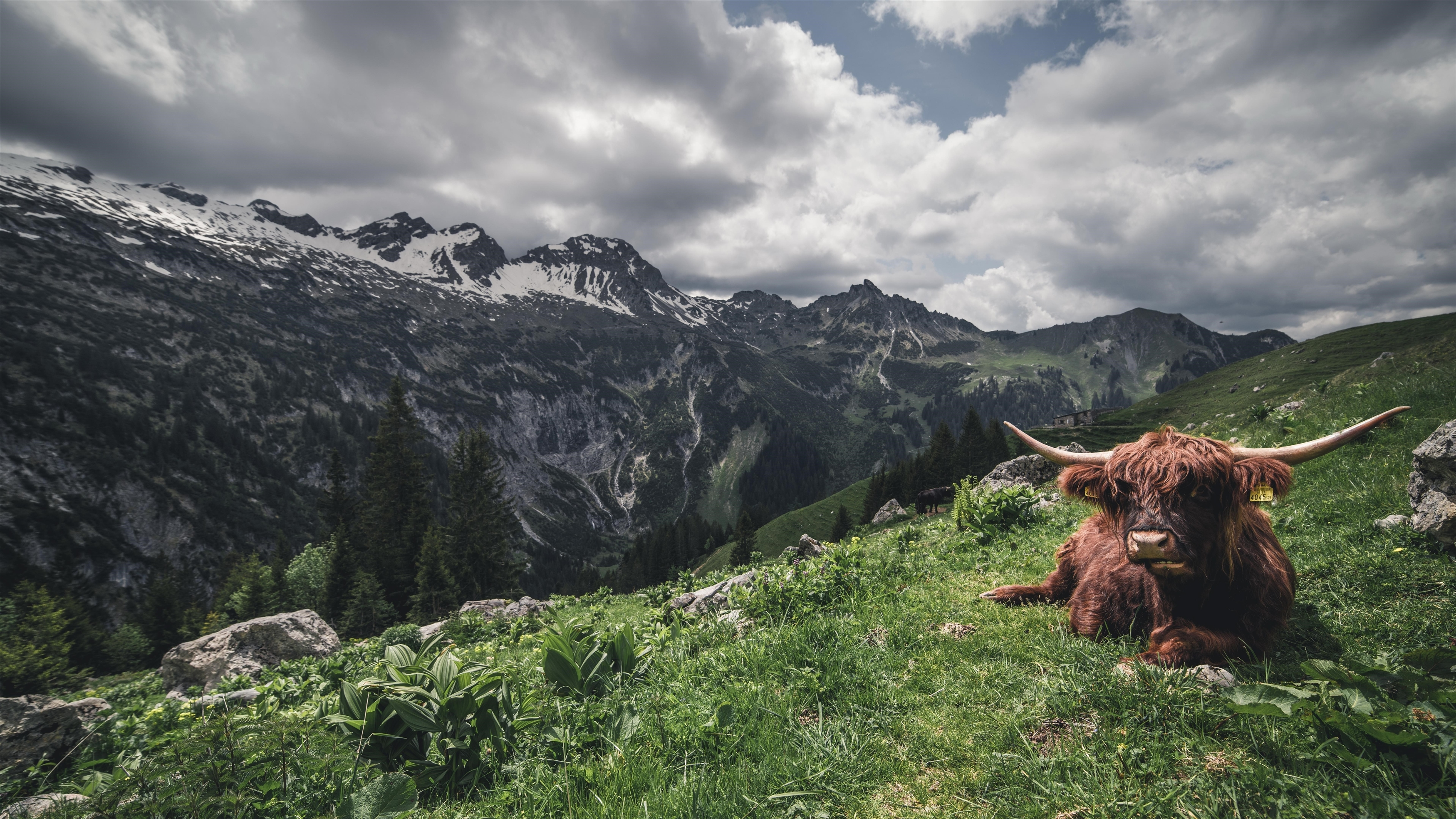 Коричневый волосатый Як горная трава облака обои скачать
