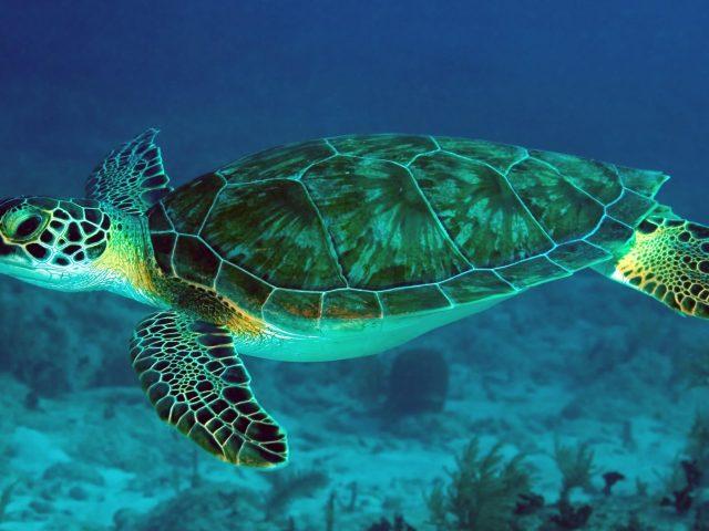 Большая черепаха Барьерного рифа