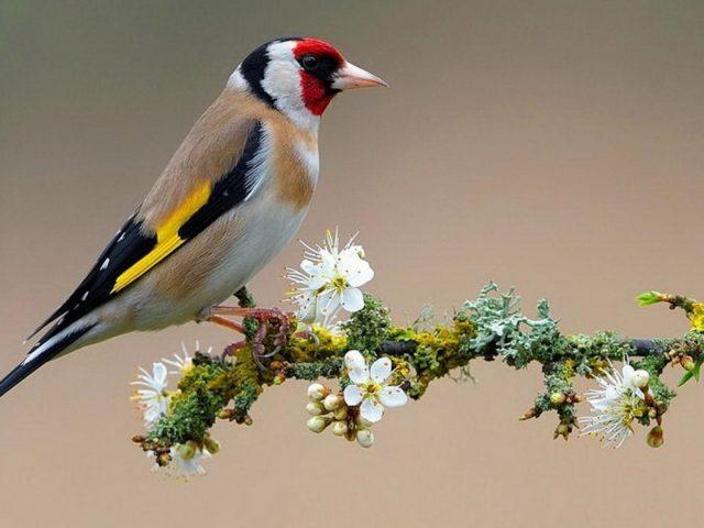 Красно коричневая черно желтая птица на цветущей ветке животные